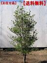 【送料無料】ドウダンツツジ樹高1.2m前後(根鉢含まず)