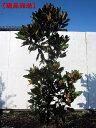 【現品発送】タイサンボク(リトルジェム)樹高1.3m-1.5m(根鉢含まず)