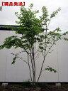 【現品発送】ツリバナ 樹高1.8-2.7m(根鉢含まず)【大型商品・配達日時指定不可】