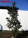 【現品発送】タイサンボク(リトルジェム)樹高1.4m-1.5m(根鉢含まず)