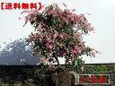 【送料無料】アセビ 赤花 2本セット樹高0.5m(根鉢含まず)