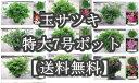 【送料無料】全9種類 玉仕立て サツキツツジ特大7号ポット(21cmポット)幅50cmくらい