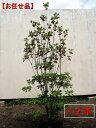 【送料無料】二本セット ベニサラサドウダンツツジ(紅更紗ドウダン)樹高1.0m前後(根鉢含まず)