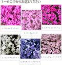 【送料無料】芝桜(シバザクラ) 選べる6品種3号ポット 40株【生産直売】