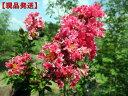 【現品発送】サルスベリ(百日紅)夏祭り(ナツマツリ)樹高1.9-2.7m(根鉢含まず)【大型商品・配