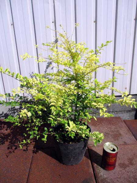 プリペット レモンアンドライムお庭のワンポイントトや生垣に最適 5号ポット 樹高30cm前後