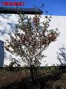 【現品発送】ウメモドキ 樹高1.6-1.8m(根鉢含まず)【...