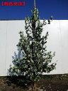 【現品発送】フェイジョア(アポロ)実のなる特大サイズ!樹高1.8-2.0m(根鉢含まず) シンボルツリー 庭木 植木 常緑樹 常緑高木