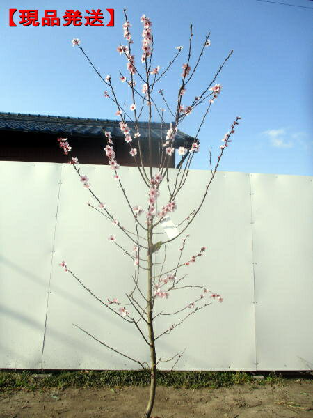 【現品発送】アーモンド 樹高2.0m-2.2m(根鉢含まず)【大型商品・配達日時指定不可】