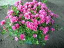 【送料無料】珍しい四季咲きツツジがこのボリューム(特大6号鉢) 鉢植え