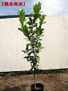 【現品発送】超特大レモンの木樹高1.4m-1.6m(根鉢含まず)
