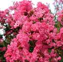 【現品発送】サルスベリ(百日紅)ピンク花樹高2.0-2.2m...