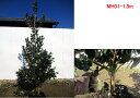 【現品発送】フェイジョア(マグニフィカ)実のなる特大サイズ!樹高1.6-2.0m(根鉢含まず)シンボルツリー 庭木 植木 常緑樹 常緑高木