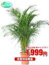 観葉植物 アレカヤシ 7号【激安!おしゃれな大型観葉植物1999円!?】お部屋の