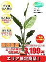 観葉植物 オーガスタ 7号【エリア限定激...