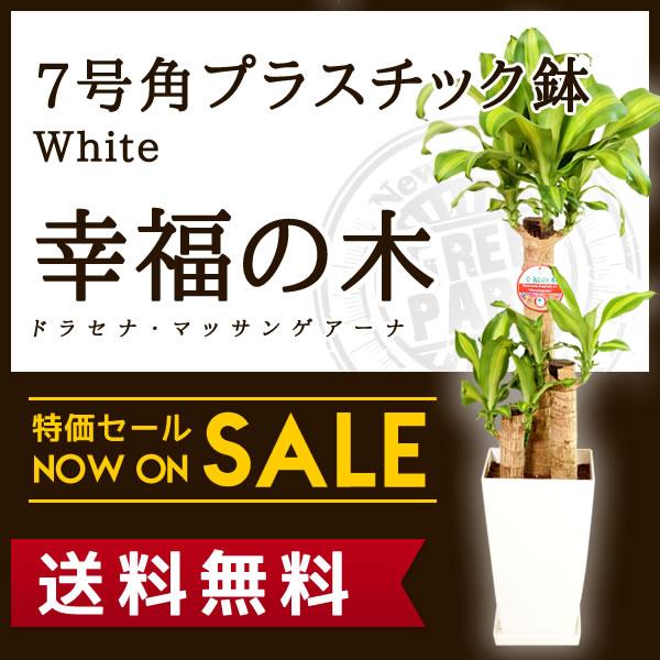 【送料無料】幸福の木 ドラセナ・マッサンゲアナ(7号/約1m)角プラスチック(白色)人気のある育てやすい観葉植物【送料込/大型/インテリア/鉢/おすすめ/安い/おしゃれ/激安/ギフト】