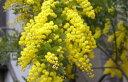 ひときわ目を引く澄んだ黄色い花のシンボルツリー!【銀葉アカシア 樹高1.0m前後】