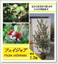 エキゾチックな花と上品な香りの果実が魅力!【フェイジョア 樹高1.2m前後】