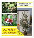 エキゾチックな花と上品な香りの果実が魅力!【フェイジョア 樹高1.5m前後】