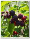 送料無料 人気果樹 収穫 シンボルツリー120cm【ジューンベリー株立 樹高1.2m前後】