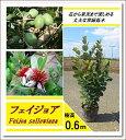 エキゾチックな花と上品な香りの果実が魅力!【フェイジョア 樹高0.6m前後】
