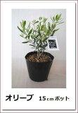 大人気シンボルツリー!【オリーブ(15cmポット) 樹高0.3m前後】