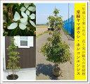 シンボルツリーに大人気!!【常緑ヤマボウシ(ホンコンエンシス)樹高1.5m前後】