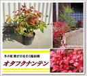 【10本セット】冬の紅葉が目を引く縁起樹!グランドカバーにおすすめ♪【オタフクナンテン 樹高0.2〜0.3m】