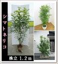 【不動の人気!】お庭のシンボルツリーに!!【シマトネリコ 株立 樹高1.2m前後】
