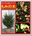 クリスマスツリーの定番!本物志向の貴方へ♪シンボルツリーにも【モミノキ(ウラジロモミノキ) 樹高1.0m前後】
