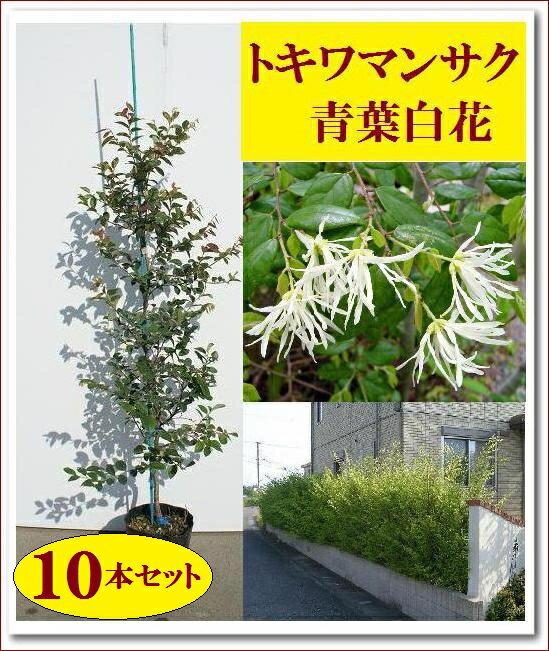 【まとめ買いがお得!】大人気生垣!清涼感のある白花♪【トキワマンサク(青葉白花)『10本セット』 樹高1.0m前後】