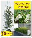 大人気生垣!清涼感のある白花♪【トキワマンサク(青葉白花) 樹高0.8m前後『10本セット』】