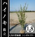 今、シンボルツリーに大人気の常緑樹!【ハイノキ 株立 樹高1.8m前後】