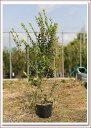 (マートル)ハーブとしての一面も!庭木や生垣として親しまれてきた常緑樹!【ギンバイカ 樹高1.0m前後】