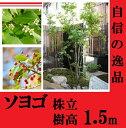 日本庭園、モダンな庭にも相性抜群!大人気シンボルツリー!!【ソヨゴ株立ち 樹高1.5m前後】