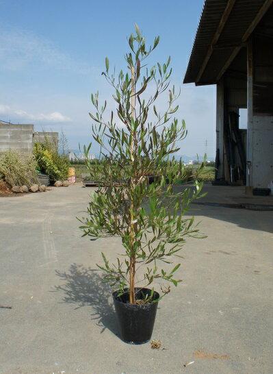 シンボルツリー 生垣 カラーリーフ 観葉植物 100cm【ドドナエア・ポップブッシュ 樹高1.0m前後】