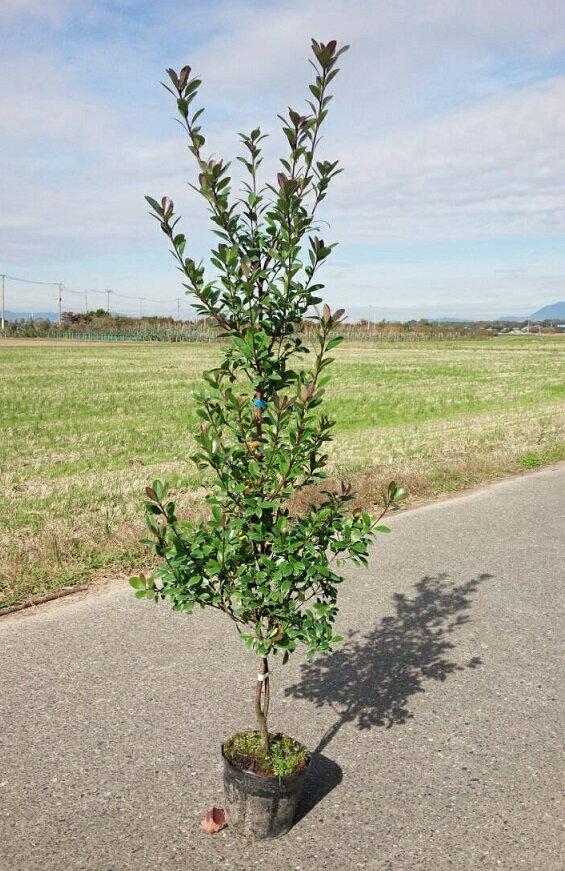 定番生垣 目隠し シンボルツリー100cm【ヒメシャリンバイ 樹高1.0m前後】
