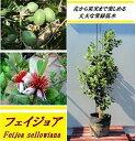 送料無料 100cm 120cm シンボルツリー 庭木 常緑樹 収穫果樹 植木【フェイジョア 樹高1.0〜1.2m】