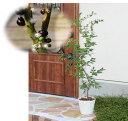 四季成り性ジャボチカバ6年生(実生中葉系)15cmポット樹高約70cm