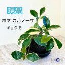 【 ホヤ カルノーサ 】水やりは1週間に1回。園芸資材初!水を溜め込む鉢アクアプラントポットでいつも植物が元気♪ 鉢植え 観葉植物 お..