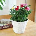 (送料無料) コルダーナローズ ミニ薔薇の寄せ植え バスケット / 鉢植え・コルダナ・母の日・ギフト・プレゼント