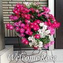 (送料無料) ウェルカムローズ ミニ薔薇の寄せ植え リース仕...