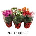 (送料無料) 八重咲き カランコエ ローズフラワー 5鉢セット 3.5号 / 花苗・プレゼント・ギフ