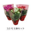 (送料無料) 八重咲き カランコエ ローズフラワー 3鉢セット 3.5号 / 花苗・プレゼント・ギフ