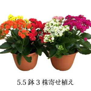 八重咲き カランコエ フラワー プレゼント