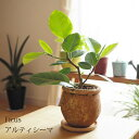 (送料無料) 現品発送 選べるこだわりの植木鉢! フィカス・アルティシーマ / おしゃれ・観葉植物