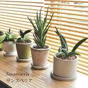 (送料無料) 現品発送 サンセベリア 陶器鉢アレンジ / 観葉植物