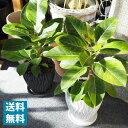 (送料無料) 現品発送 選べるこだわりの植木鉢! フィカス・アルティシーマ 中型 6号 / おしゃれ・観葉植物