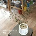 (送料無料) ソフォラ リトルベイビー 4号 選べるこだわりの植木鉢! / 観葉植物・おしゃれ・陶器鉢・インテリア