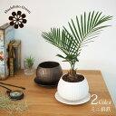 (一部地域送料無料) ミニ蘇鉄 2色から選べる植木鉢 受け皿付き 3.5号(10.5cm)